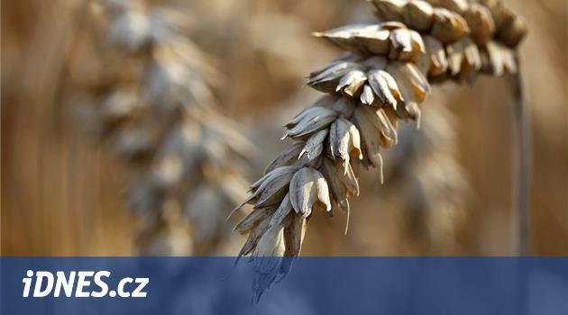 Zemědělci mapují škody kvůli suchu. Zdraží pečivo, mák, ale i vánoční kapři
