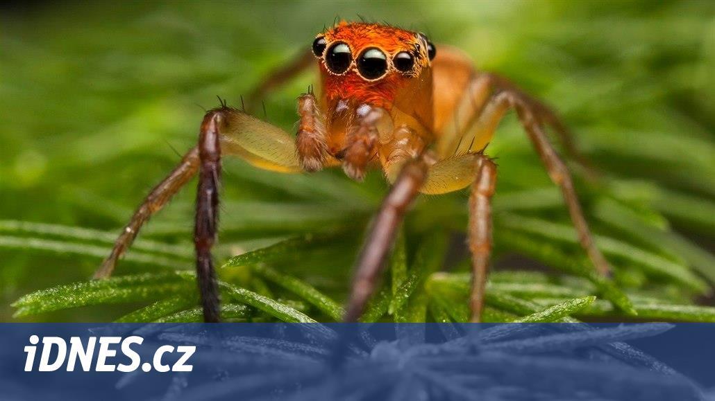 Staré diesely vzrušují australské pavouky, vibracím nedokážou odolat