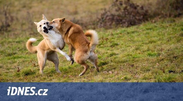 Pět rad co dělat, když cizí pes napadne toho vašeho. Hlavně nenadávejte