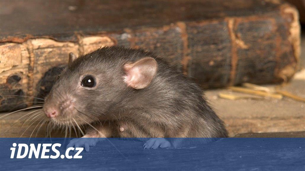Přemnožené krysy zabíjejí život na korálových ostrovech, tvrdí studie