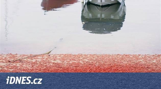 Novozélandské pláže zčervenaly. Důvodem jsou miliony uhynulých polokrabů
