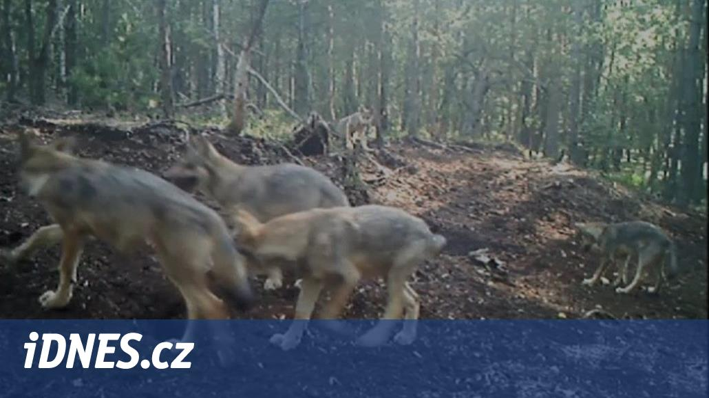 U Třeboně se rozmnožil pár vlků 75fe64f813