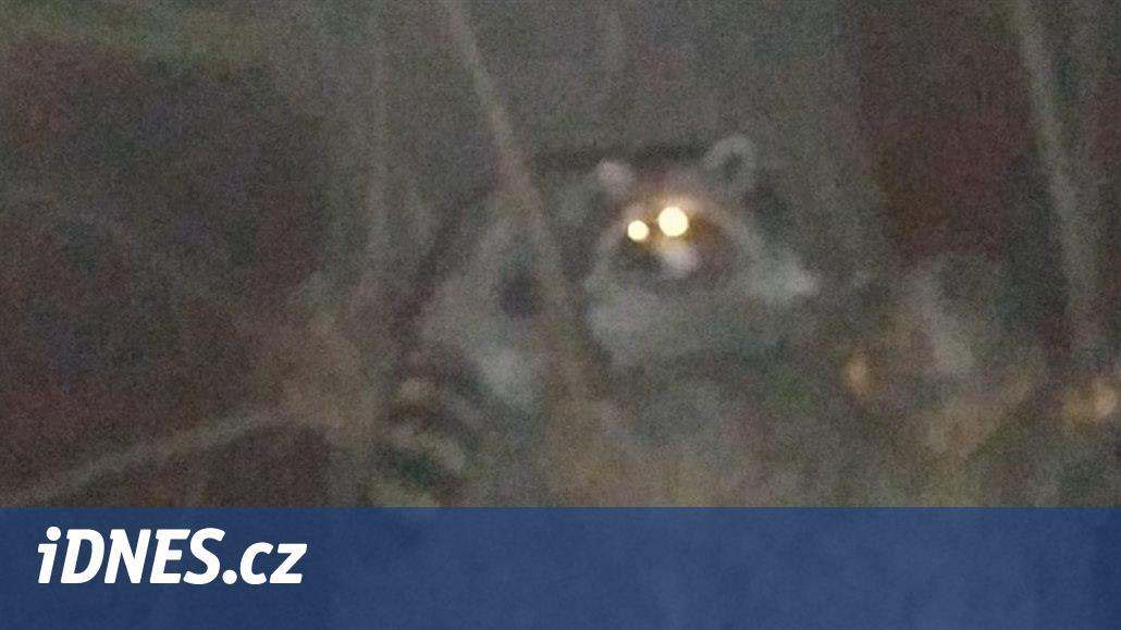 Pejskař vyfotil mývala, v zoo řádil psík. Invazivní druhy se stahují do měst
