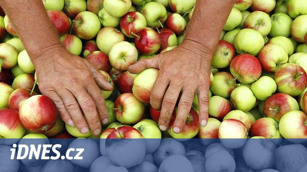 Nová sklizeň zlevňuje cenu jablek, kilogram je v průměru za 33 korun