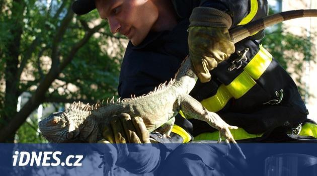 Leguán se vysmekl z obojku a utekl na strom, hasiči pod ním uřízli větev