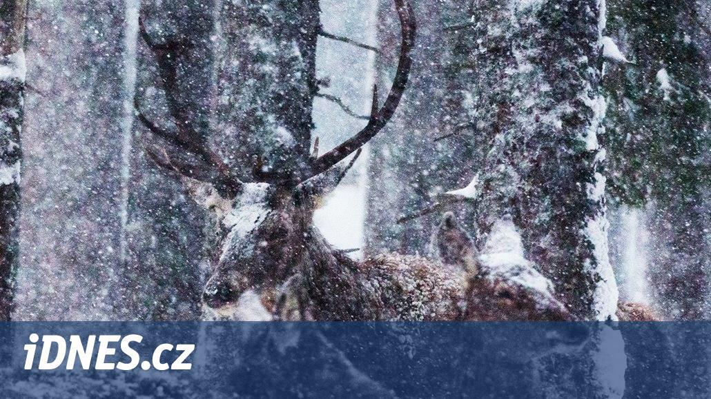 Šumavský jelen Standa, který měl být utracen, půjde do obory k prezidentovi