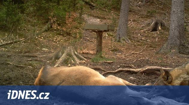 Přímo před fotopastí v Českém Švýcarsku vlk strhl srnu
