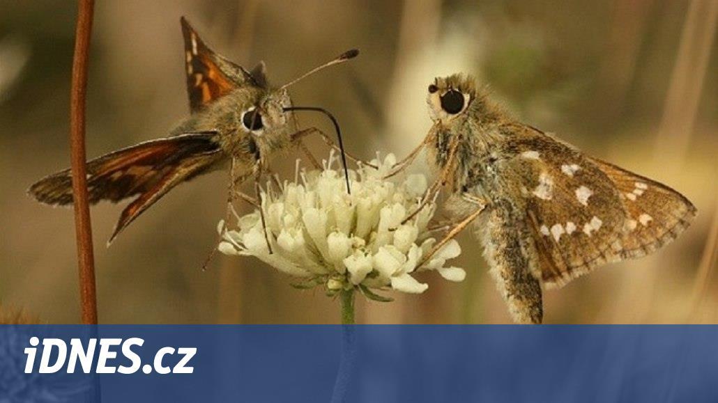 Jinde motýlů ubývá, Valašsko se stává jejich rájem. Pomáhá péče o louky