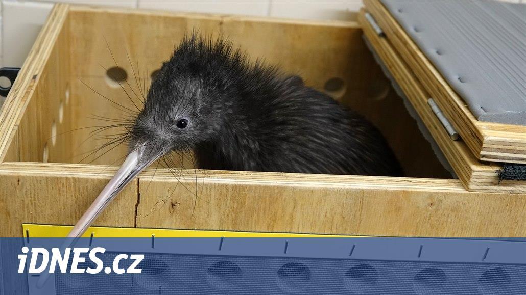 Zlín vyhrál souboj světových zoo o samičku kiviho, s Gerrym může mít mladé