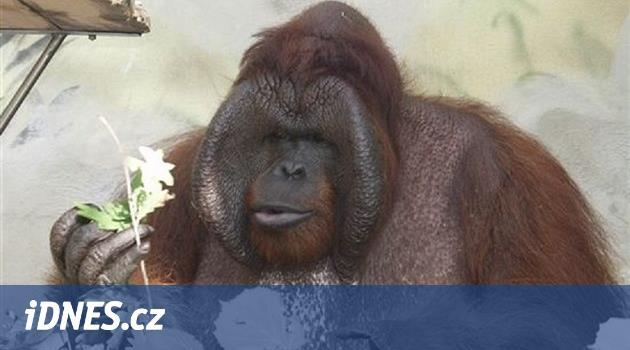 V Ústí utratili populárního orangutana Ňuňáka z filmu Dva lidi v zoo