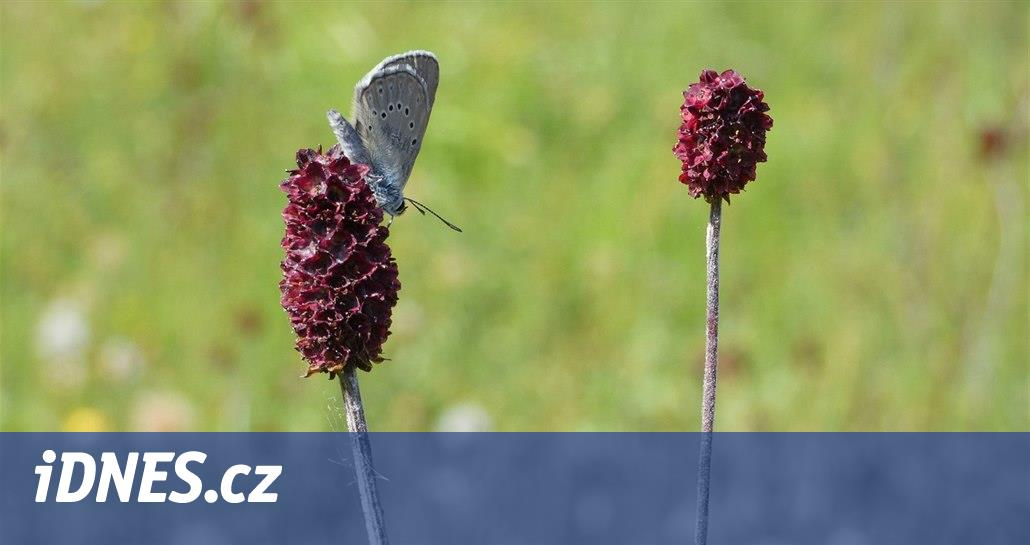 V Českém Švýcarsku se daří modráskům, i díky vstřícnosti majitelů luk