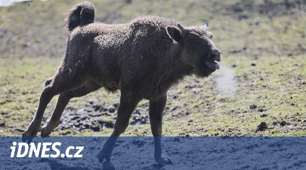 V plzeňské zoo pokřtili zubřího samečka, říkají mu Ony